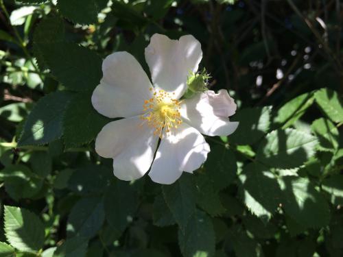 Medvecki Panna Zsófia (12) – Bimbó vagy virág?